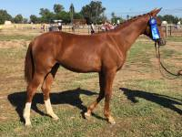 Ruza at In Hand show as a yearling