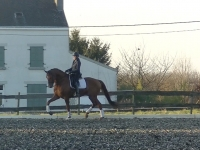 11 y old dressage gelding by Jazz-Weltmeyer for sale**
