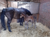 Colman/Casall filly stamm 776