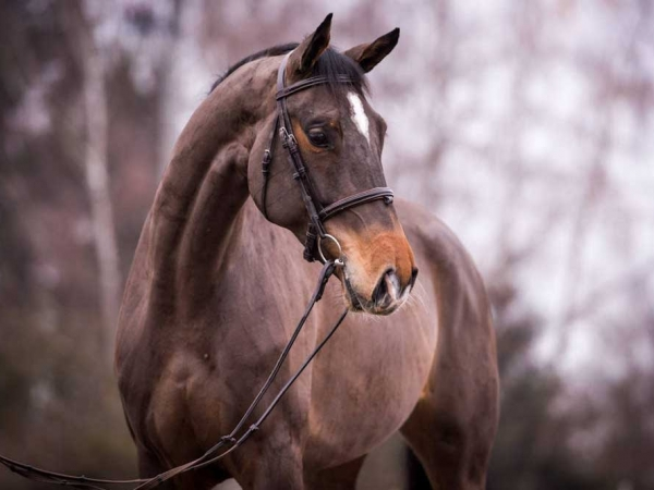 Cortessa listed by German Horse Center